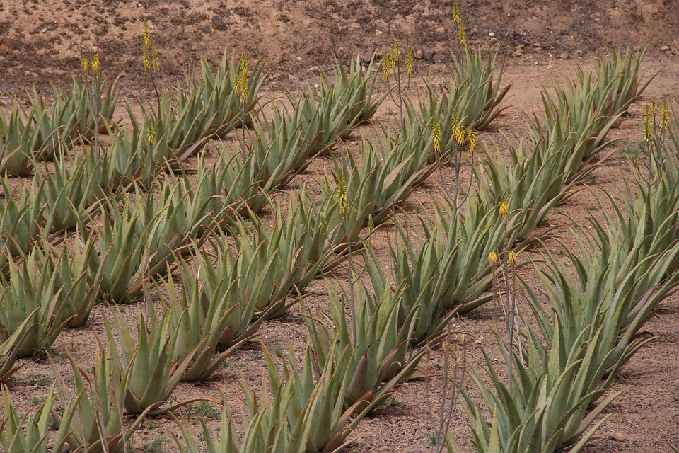 Az Aloe Vera a száraz, meleg éghajlatot kedveli