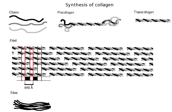 A kollagén szintézise